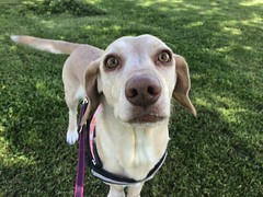 Doggy in the shade (balantain) Tags: mixed dachshund sunnyday day sunny spring greeneyes eyes green perro dog