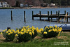 Daffodils and osprey (lauren3838 photography) Tags: laurensphotography lauren3838photography landscape md maryland talbotcounty tilghman tilghmanisland rural daffodils osprey nature ilovenature nikon d700 tamron postcard
