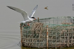 Xatrac (Enllasez - Enric LLaó) Tags: xatrac charrán aves aus bird birds ocells pájaros rietvell deltadelebre deltadelebro delta 2018