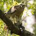 Red-shouldered Hawk eating a Pig Frog