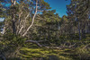 Fallen (prajpix) Tags: fall fallen dulnain strathspey invernesshire highlands scotland pine pinewood pinewoods forest woodland tree trees caledonian ancient nature juniper