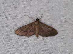 Spilomelinae sp. (dhobern) Tags: 2018 china lepidoptera march xtbg xishuangbanna yunnan crambidae spilomelinae