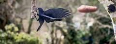 'nother day at the feeder (willymol) Tags: birds birdfeeders birdfeeder crows featheredfriends wildlife rooks rspb rspbnorthernireland