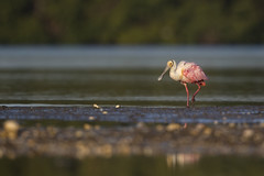 Morning Pink... (DTT67) Tags: roseatespoonbill spoonbill pink morning dingdarling wadingbird florida nature birds wildlife canon 1dxmkii 500mmii 2xtciii
