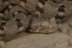 Bitis xeropaga - Desert Mountain Adder (Nicolauecology) Tags: bitis xeropaga desert mountain adder canon macro gary kyle nicolau ecology conservation biodiversity africa snakes wildlife nature explore