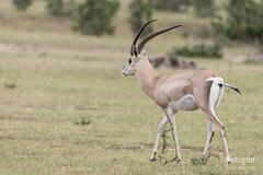 _JN05176c (Fotograf Jonas Nimmersjö) Tags: kenya masai mara safari masaimara