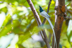 Asian Paradise Flycatcher (Mujtaba Hussain Shah) Tags: asian paradise flycatcher bird photography