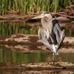 Great Blue Heron Sunning thumbnail