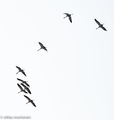 Cranes are here (aixcracker) Tags: nikond800 nikon afs 80400mm gseries vr cranes tranor trana crane kurjet kurki bird fågel lintu ruskis spring vår kevät april huhtikuu borgå porvoo suomi finland