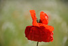 Le coquelicot à la robe froissée (Croc'odile67) Tags: nikon d3300 sigma contemporary 18200dcoshsmc fleurs flowers nature coquelicots pavots poppies prairie proxy