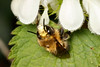 Hairy-footed flower bee m face (Steve Balcombe) Tags: insect hairyfooted flower bee anthophora plumipes male cream face white dead nettle lamium album bathpool taunton somerset uk