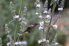 White Sage in Bloom (charluna) Tags: tujunga california usa hummingbird bloom blooms spring socal southerncalifornia salviaapiana whitesage