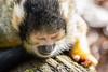 Tired monkey (Photography by Martijn Aalbers) Tags: squirrelmonkey doodshoofdaapje apenheul apeldoorn guelders gelderland animal dier zoo dierentuin beast beest mammal zoogdier canoneos77d ef70200mmf4lisusm wwwgevoeligeplatennl