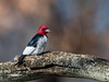 Red-headed Woodpecker (Brian_Harris_Photography) Tags: red headed redheaded woodpecker black white bird wildlife nikon nature nikkor hiking winter tree trees exposure light sunlight sunshine