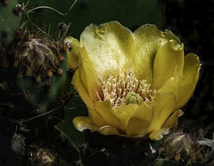 Prickly Pear Cactus Flower In The Light (Bill Gracey 18 Million Views) Tags: pricklypear cactus fleur flower flor offcameraflash ambientlight yongnuo yongnuorf603n nature naturalbeauty naturephotography lakeside lastoliteezbox softbox opuntia