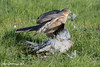 Male Sparrowhawk-5219 (martinpettinger) Tags: assassin feathered pigeon wood hawk sparrow
