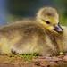Hello Chuck (Paul A Wiles) Tags: gosling brandonmarsh canada goose