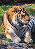 Tiger - St Louis Zoo (DonMiller_ToGo) Tags: tiger bigcats wildlife zooanimals stlouiszoo animal