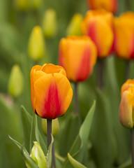 Orange tulips (Princess Ruto) Tags: tulip flower garden orange brooklynbotanicgarden red green spring plant nature