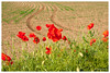 Silence ça pousse ... (Pascale_seg) Tags: landscape paysage countryscape country champ agriculture culture nature earth moselle lorraine grandest france nikon printemps spring coquelicots poppy poppies rouge red flowers sillons