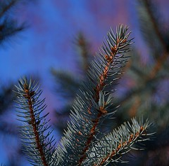 Sprucing Things Up (Scott 97006) Tags: tree nature branch needles closeup sky