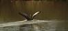 Graugans bei der Landung . (Tauras Caio) Tags: gans gänse grau graugans greylaggoose goose bavaria gray