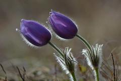 D71_4869A (vkalivoda) Tags: kurdějov depthoffield closeup delightful pretty wild delicious serene macro flower koniklec pasqueflower pulsatilla koniklecvelkokvětý pulsatillagrandis grosekuhschelle