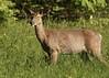 What's So Funny? (Diane Marshman) Tags: whitetail deer buck antlers spring velvet field large animal northeast pa pennsylvania wildlife