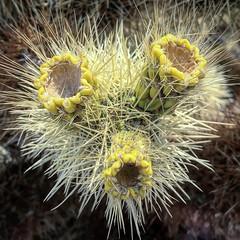 Cholla Cactus (PeterCH51) Tags: cholla cactus chollacactus teddybearcholla chollacactusgarden cylindropuntiabigelovii joshuatreenationalpark jtnp california usa iphone square squareformat peterch51 america