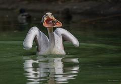 Breitmaulpelikan :-) (wernerlohmanns) Tags: natur outdoor nikond750 sigma150600c schärfentiefe vögel wasservögel pelikane krauskopfpelikan deutschland duisburgerzoo 84