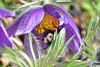 Pasque Flower (AndyorDij) Tags: pasqueflower pulsatillavulgaris bumblebee england empingham rutland uk unitedkingdom andrewdejardin spring 2018