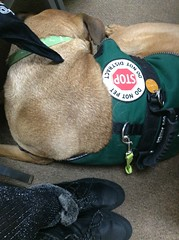 Snoring in Court (EX22218 - ON/OFF) Tags: dog jacket green carpet beige service medical boots black silver chair leg bandana collar leash legs