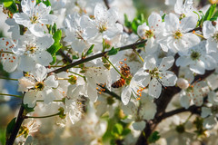 Bee (Sergio '75) Tags: bee ape nature natura natur naturaleza naturallight natural naturephotograph naturephotography canon canoneos70d sigma150600mmf563dgoshsmc flowers spring primavera fiori