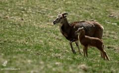 Comme un grand ! (pm100%nature19) Tags: mouflon mouflonne auvergne montagne sancy puydedôme 63 animaux
