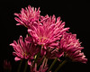 Pink Cluster 1023 (Tjerger) Tags: nature flower flowers bloom blooms blooming plant natural flora floral blackbackground portrait beautiful beauty black green fall wisconsin macro closeup yellow group bunch cluster pink mums mum