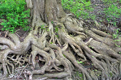 Rooty (rochpaul5) Tags: erosion tenacity living growing biology ecology