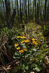 Varsakabjad metsas (Jaan Keinaste) Tags: pentax k3 pentaxk3 eesti estonia loodus nature mets forest varsakabi caltha kevad spring harilikvarsakabi calthapalustris
