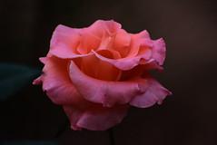 The Rose of dream!!                                     [DSC_2104} (SHAN DUTTA) Tags: rose orange sublime beauty flower nikon nikkor 70mm300mm