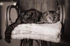 チェアのチビC (t_mimizuk) Tags: film bw blackandwhite monochrome leica zeiss ilford cat mycat tokyo japan