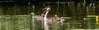 Grèbe huppé  (Podiceps cristatus) (francisaubry) Tags: grèbe podiceps nikon nikkor bird waterbird nikonflickraward