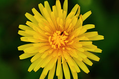 dandelion (andreea_mihailiuc) Tags: macro nature colors abstract closeup dandelion green background insect outdoor nikond3200 nikonphotography 40mmf28 shadow spring may andreeamihailiuc flower floral garden plant