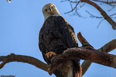 Bald Eagle looking at camera (archs21) Tags: baldeagles centerport canon canon70d newyork bird bald eagle branch blue sky oncueenterprises inc stevenarchdeacon