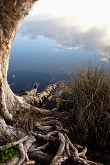 Cloud and Root (335semi) Tags: australia nsw nationalpark np national park myallcoast myalllakesnationalpark myalllakes myall lake sunset reflections fujix100t fuji broadwater paperbark paperbarks
