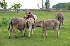 IMG_20180529_124749 (Luna-Woona Moon) Tags: donkeys rescue animals equine devon england