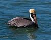 Pelican, Brown 1a (TX) (edit) (MO FunGuy) Tags: brown pelican texas bird birding