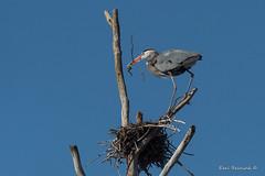 Nesting Heron (Earl Reinink) Tags: sky tree blue heron crane greatblueheron wading bird animal nest nesting nature flying stick branch earl reinink earlreinink wildlife outdoors spring ediaattdza