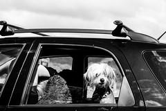 Traffic Jam (moofishbear) Tags: dog puppy black white canon