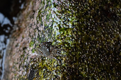 Pachygrapsus marmoratus (Hachimaki123) Tags: animal cangrejo cranc crab pachygrapsusmarmoratus