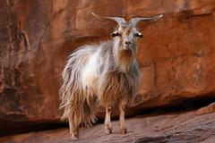 Feral Goat (Alan McIntosh Photography) Tags: goat animal feral mutawintji nature wildlife