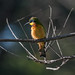 Blue-breasted bee-eater (Merops variegatus), Ethiopia